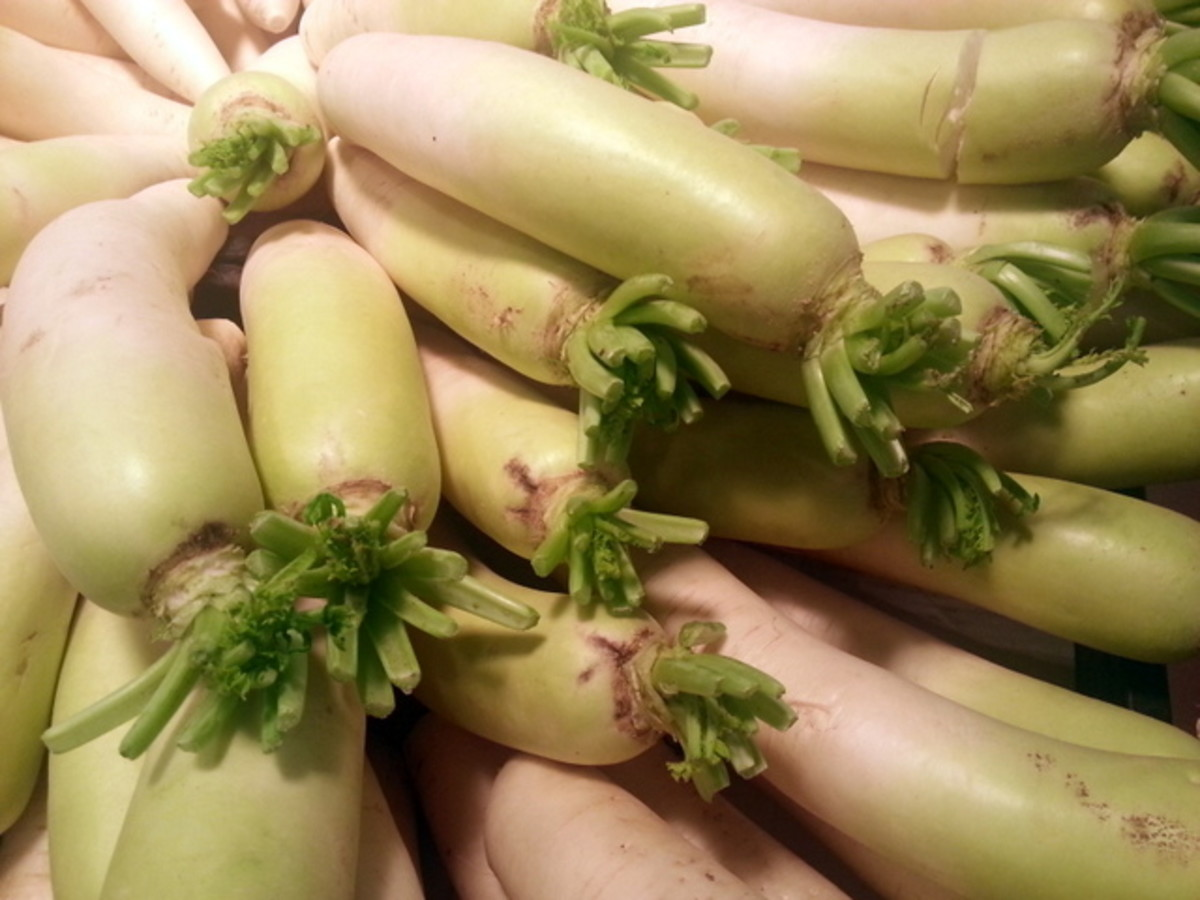 If the Chinese Radish came with the green attached, remove it as soon as possible as it draws nutrients from the root