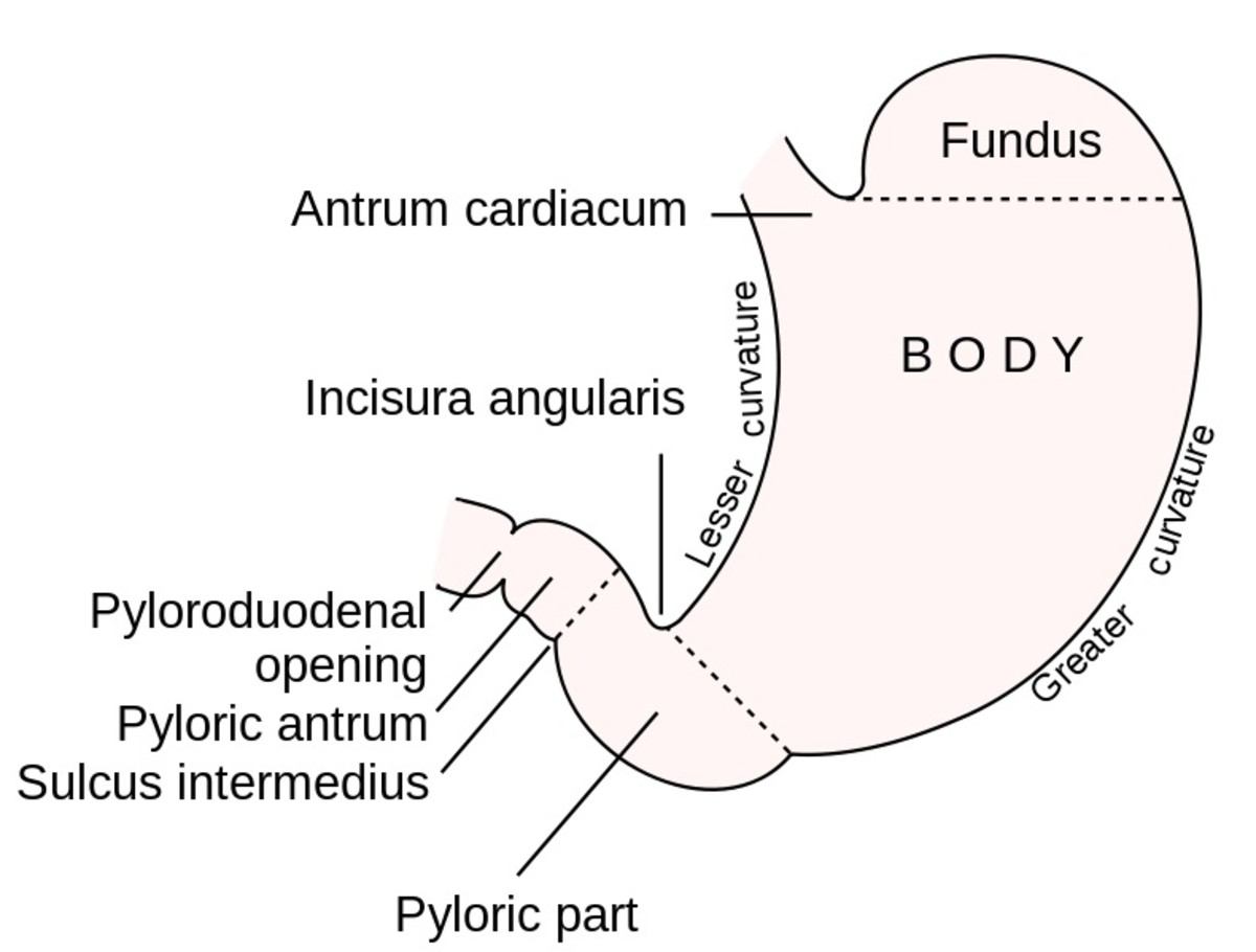 The lesser omentum is attached to the lesser curvature of the stomach while the greater omentum is attached to the greater curvature.