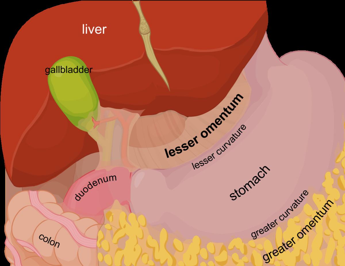 The abdominal cavity