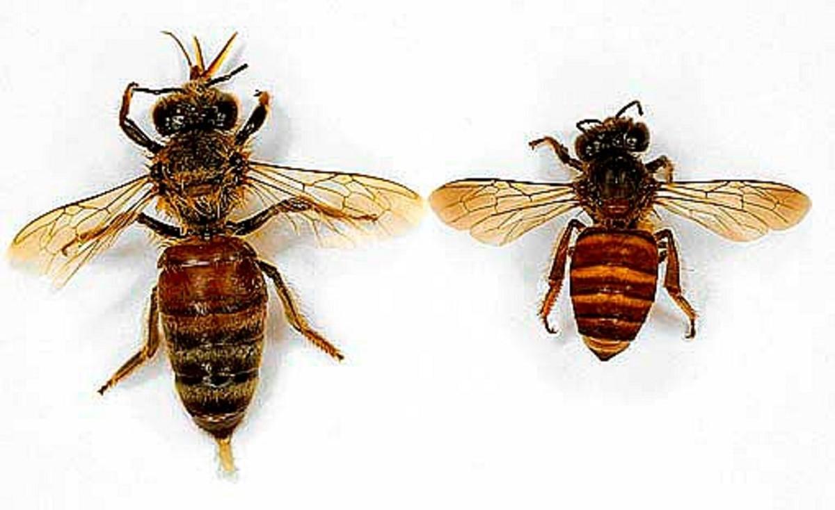 Left: Asian Rock Bee. Right: Common honey bee