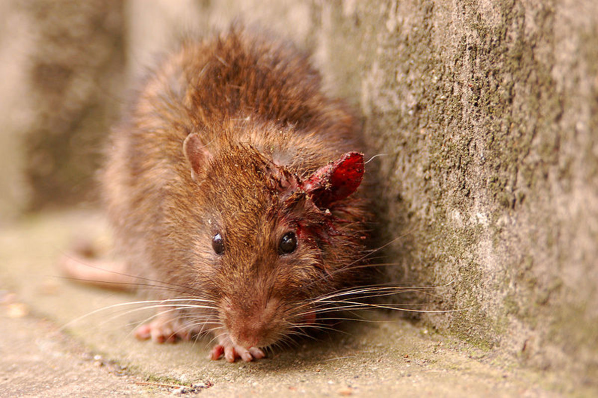 Experiments using rats have revealed how addictive sugar can be in a scientific setting.
