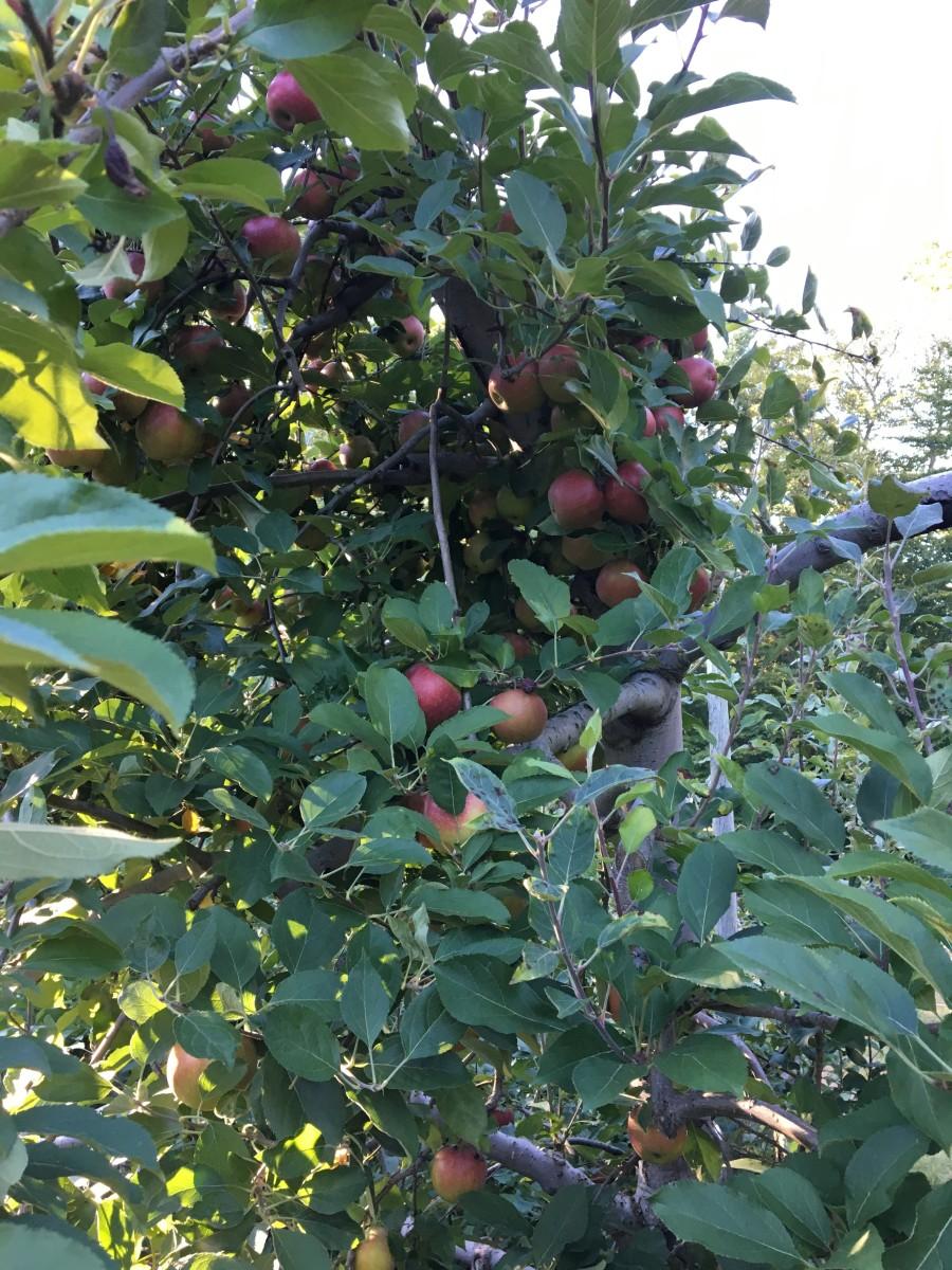 Apple orchard, Demarest Farms, NJ