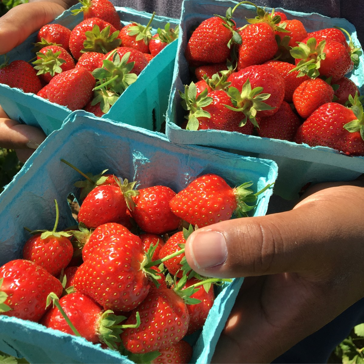 Pick-your-own strawberries from Alstede Farms, NJ.
