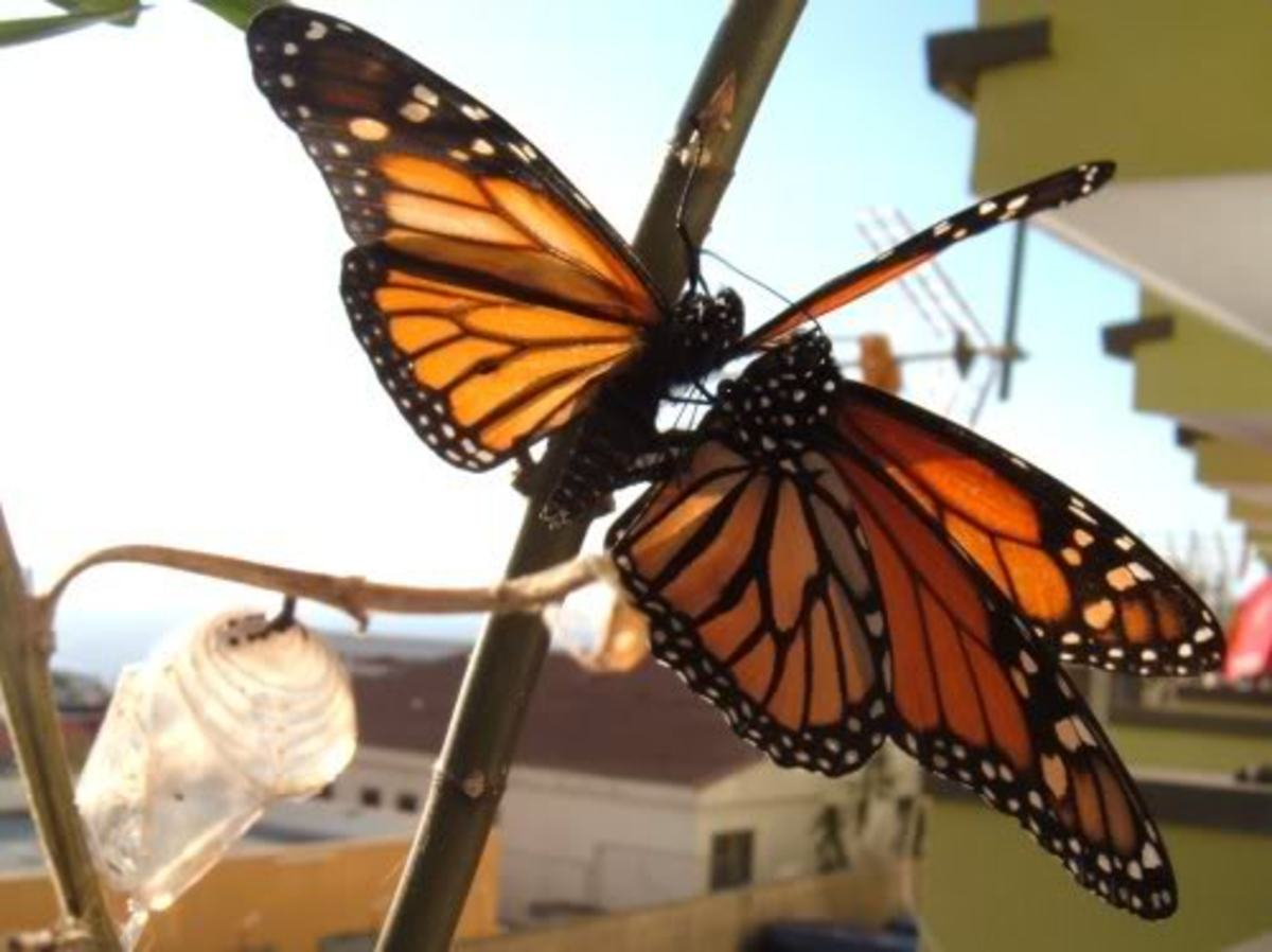 Male Monarch attempting to copulate with another male