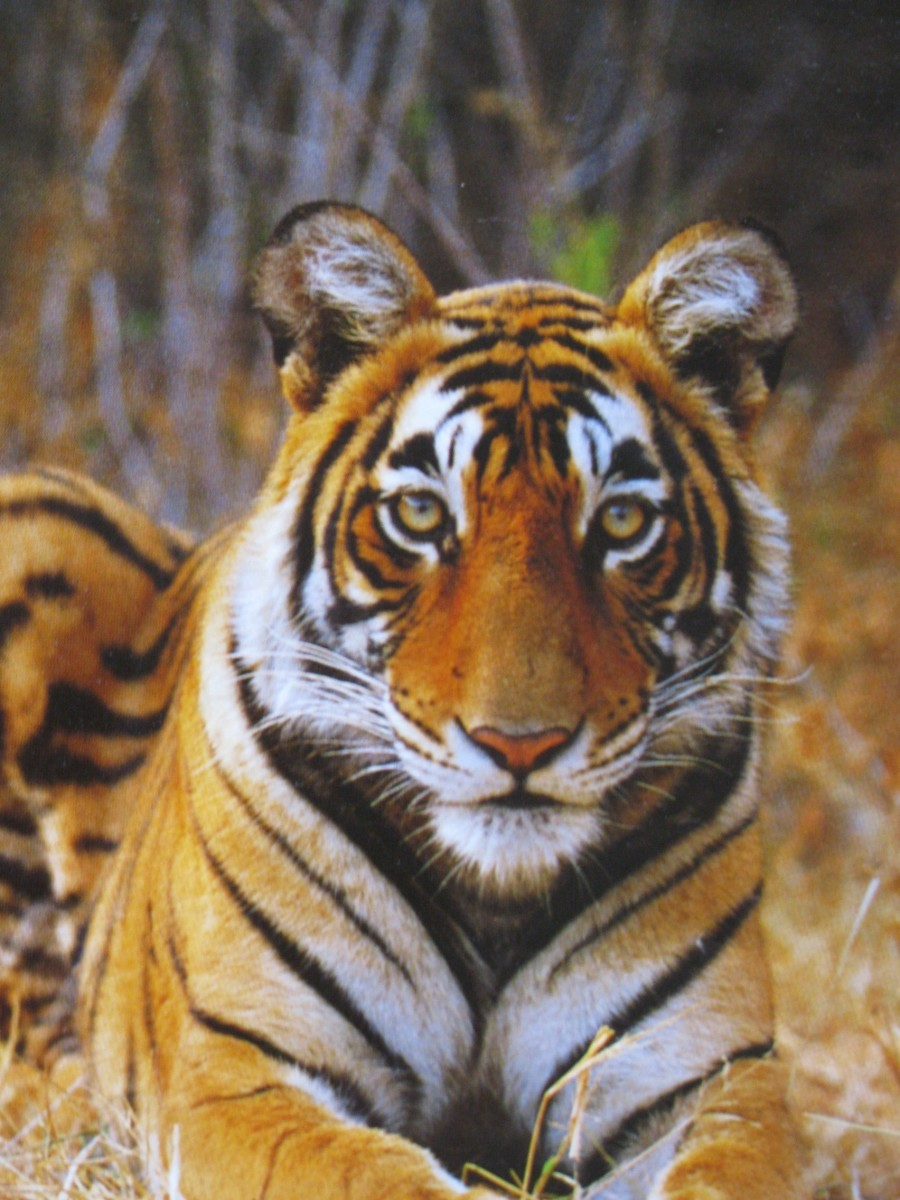 SAVE THE BEAUTIFUL TIGER