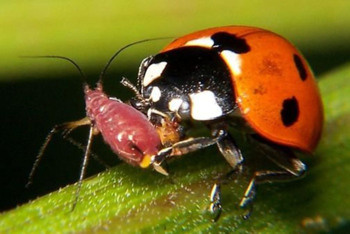 Ladybugs are the workhorses of the pest suppression species.  They eat many times their weight in aphids and other plant-eating pests.