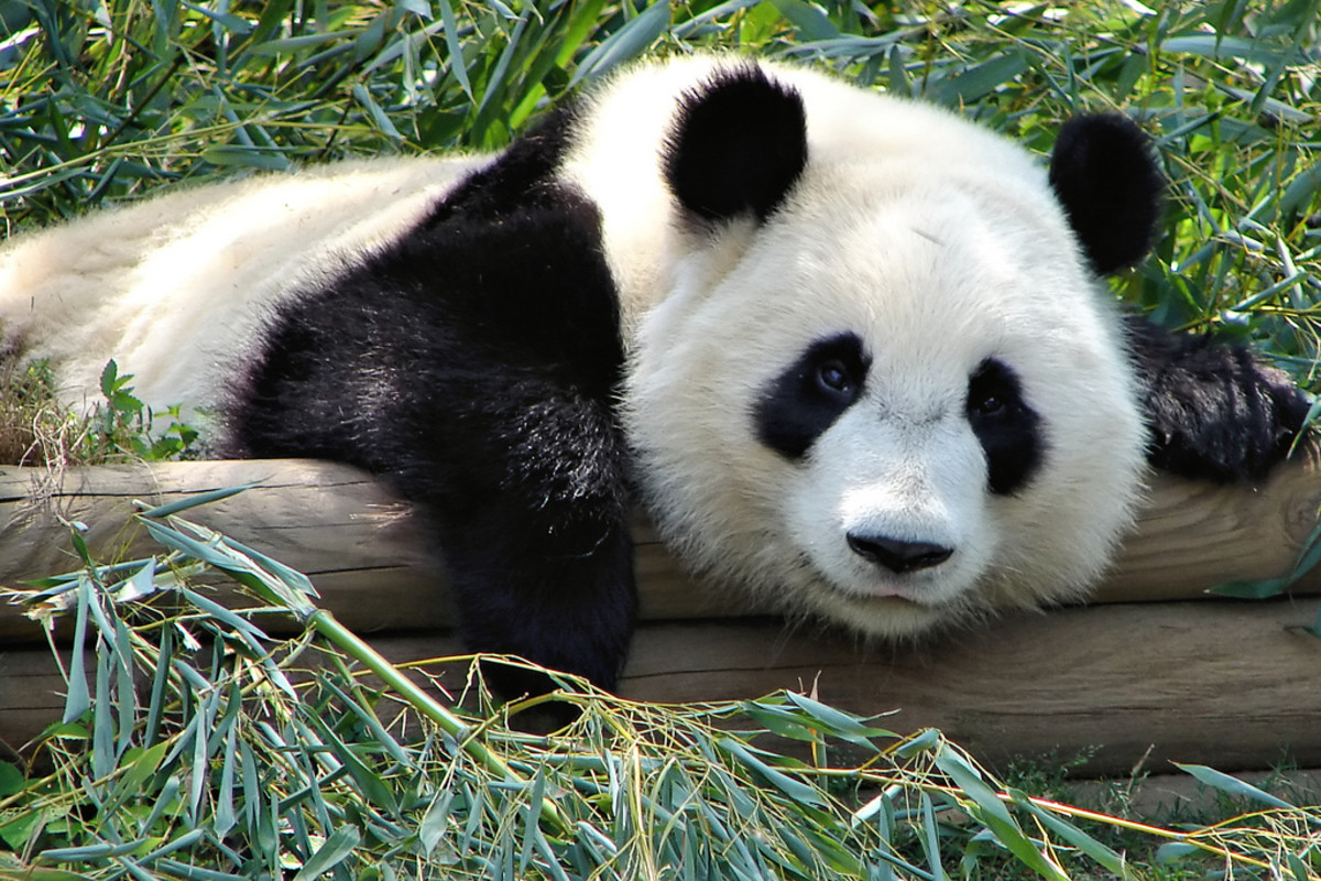 Pandas are threatened by the clearing of forests for farming and housing.