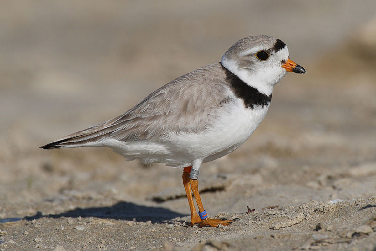 This cute, little bird (Piping Plover) is endangered in my area. What plants and animals are endangered where you live?