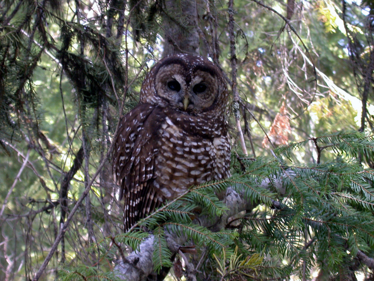 The northern spotted owl is a threatened species