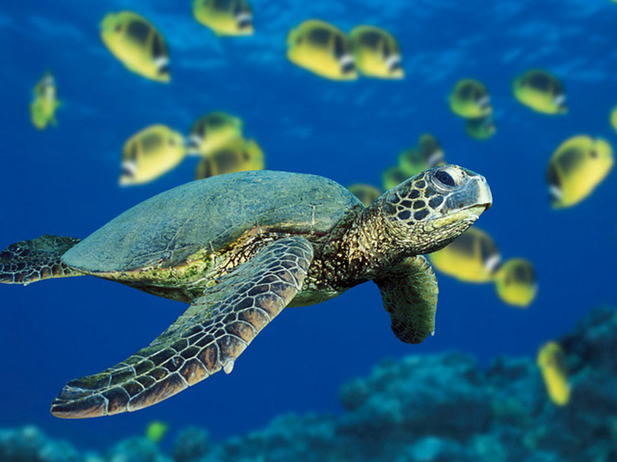 Green sea turtles have been around for 100 million years, but in recent years have been threatened and made endangered by humans.