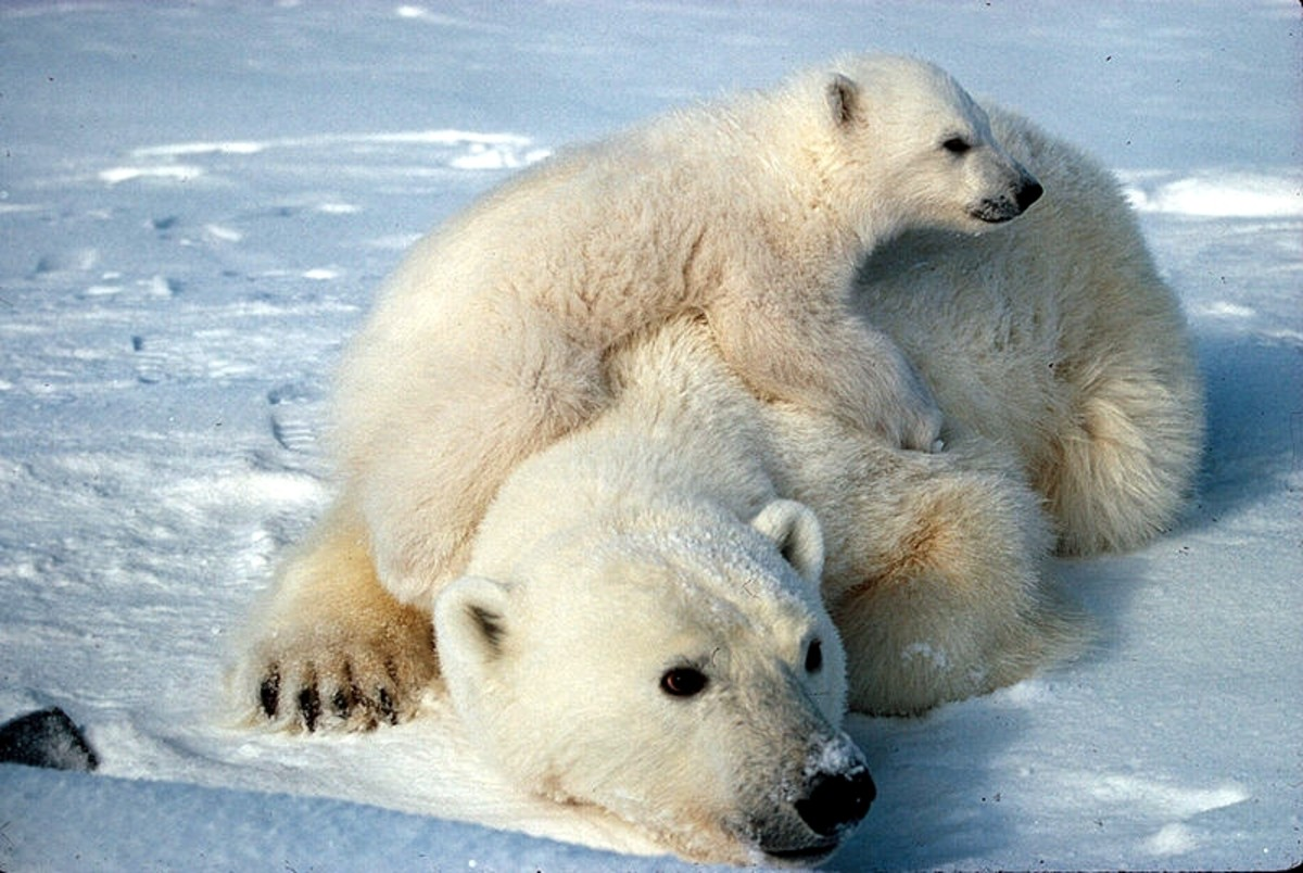 Polar bear populations are an important indicator of climate change.