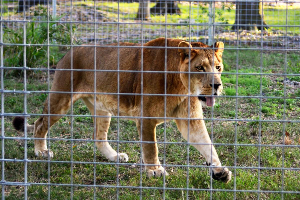 Lion at Big Cat Rescue