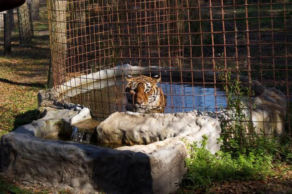 A tiger at Big Cat Rescue