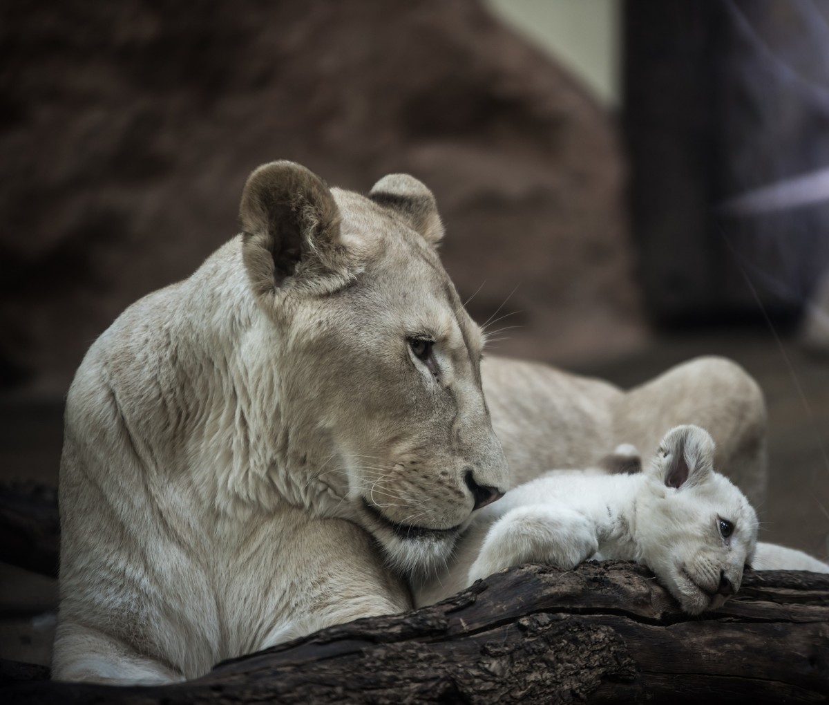 White tigers in the wild