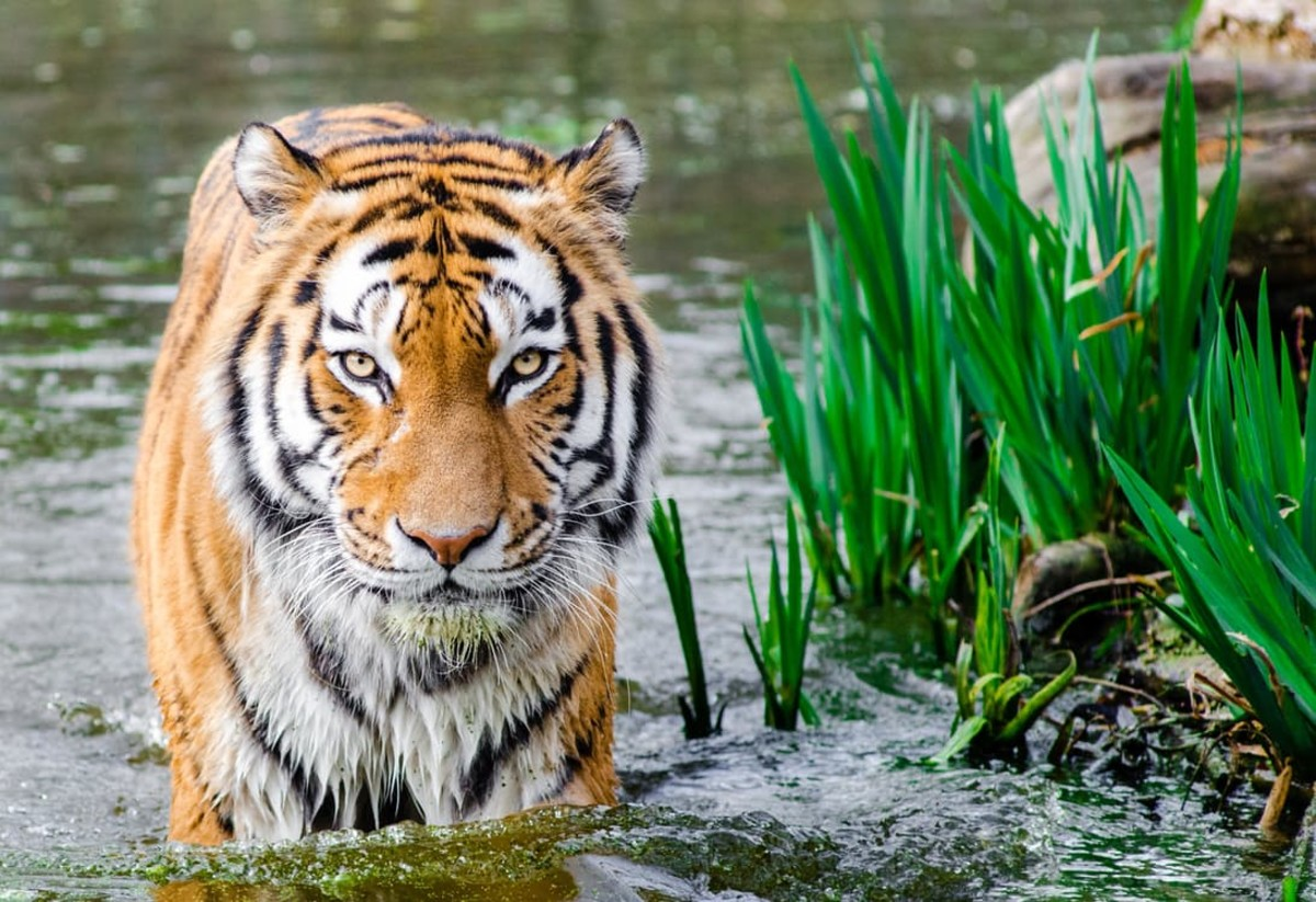 How many wild tigers are left?