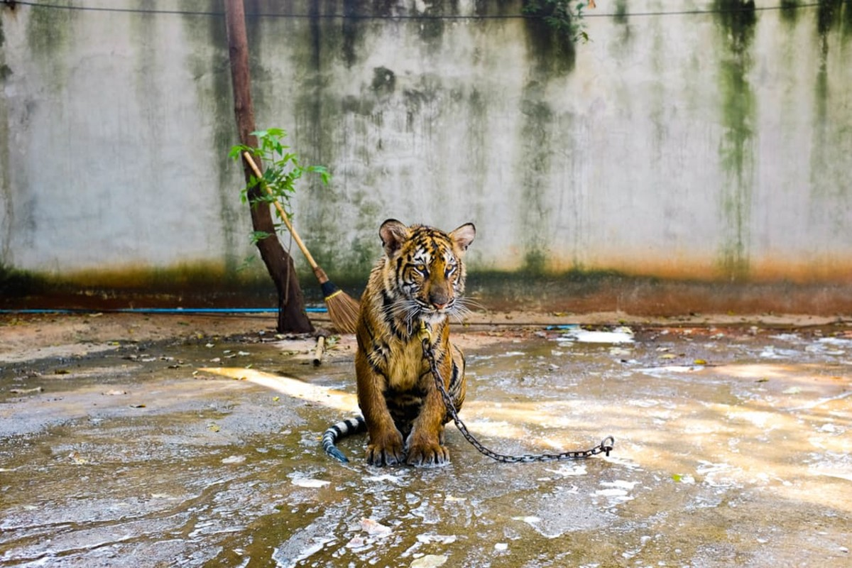 Ways to save tigers from extinction