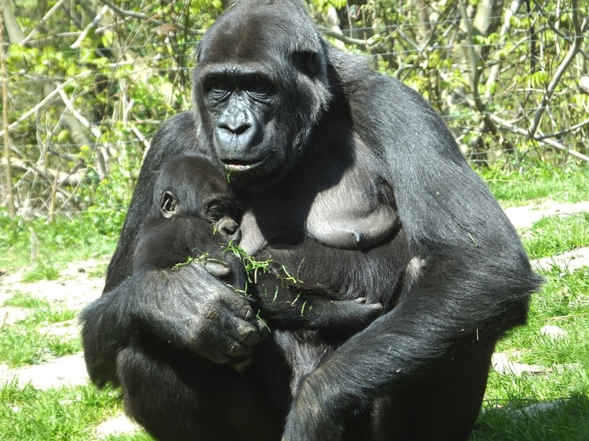 thoughts-on-a-gorilla-and-a-child