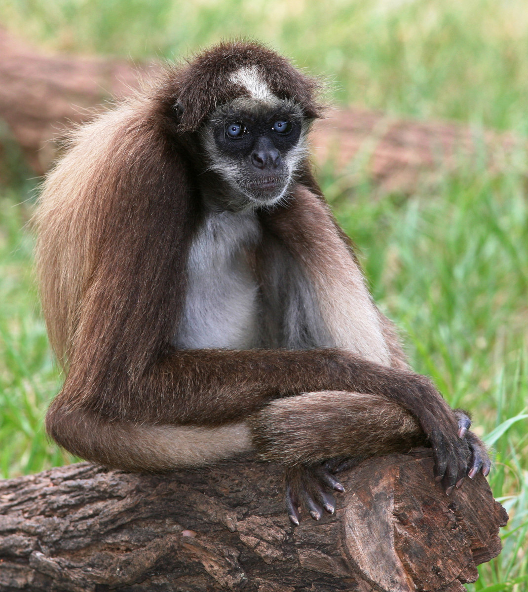 Spider monkeys are threatened by loss of habitat.