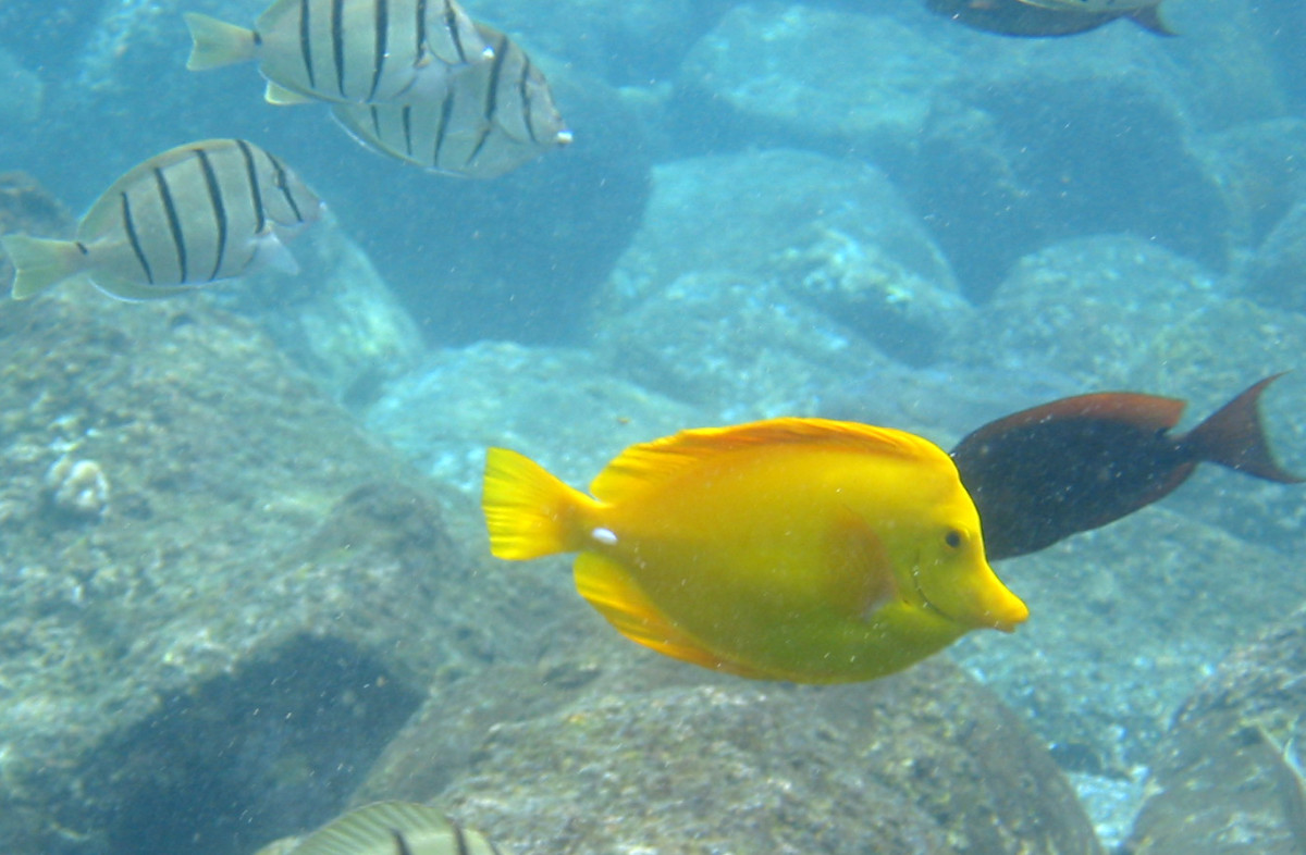 Yellow Tang - has a life expectancy of 30 years in the wild. In captivity, most of them die within one year. 100% in tanks come from reefs as they cannot be captive bred as of now..