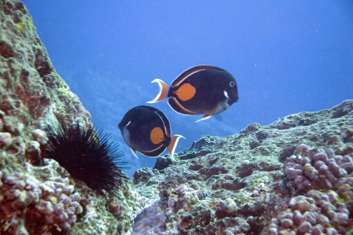 Achilles Tang - third most collected species, population has been declining for decades and is of cultural and sustenance value for Hawaiians.