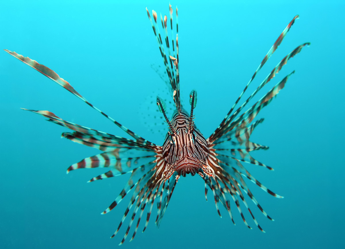 The red lionfish is a coral reef dweller you don't want to meet. Its poisonous sting is extremely painful though rarely fatal.