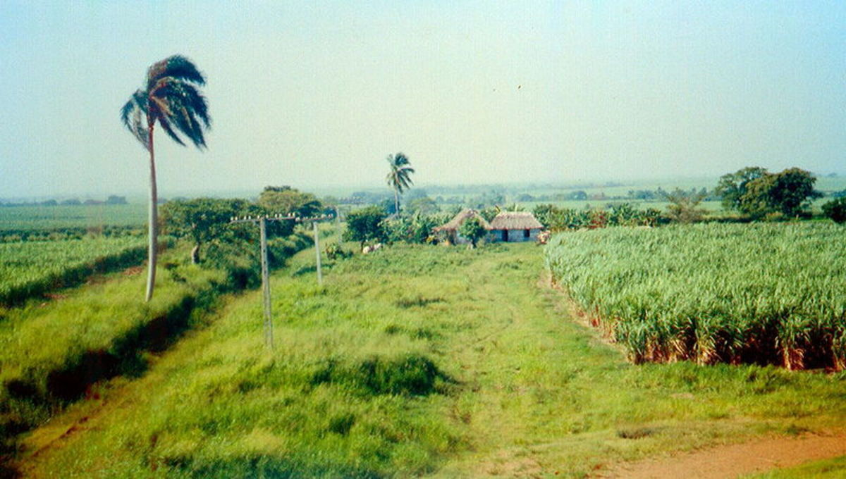 Sugarcane plantation, on the right. Columbus brought sugarcane to the Western Hemisphere in 1493, during his second trip.