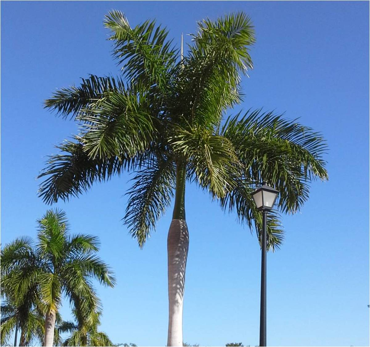 The Royal Palm is Cuba's National tree.