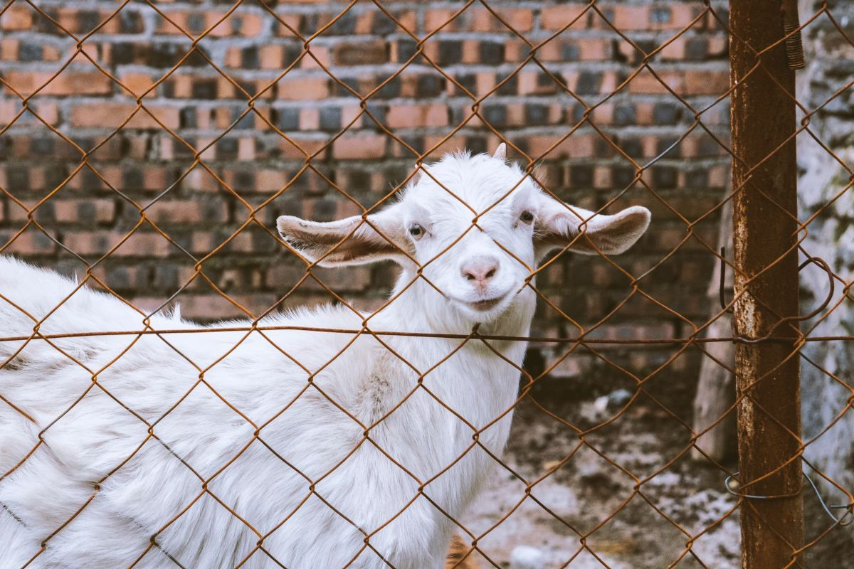 You could help buy a goat!