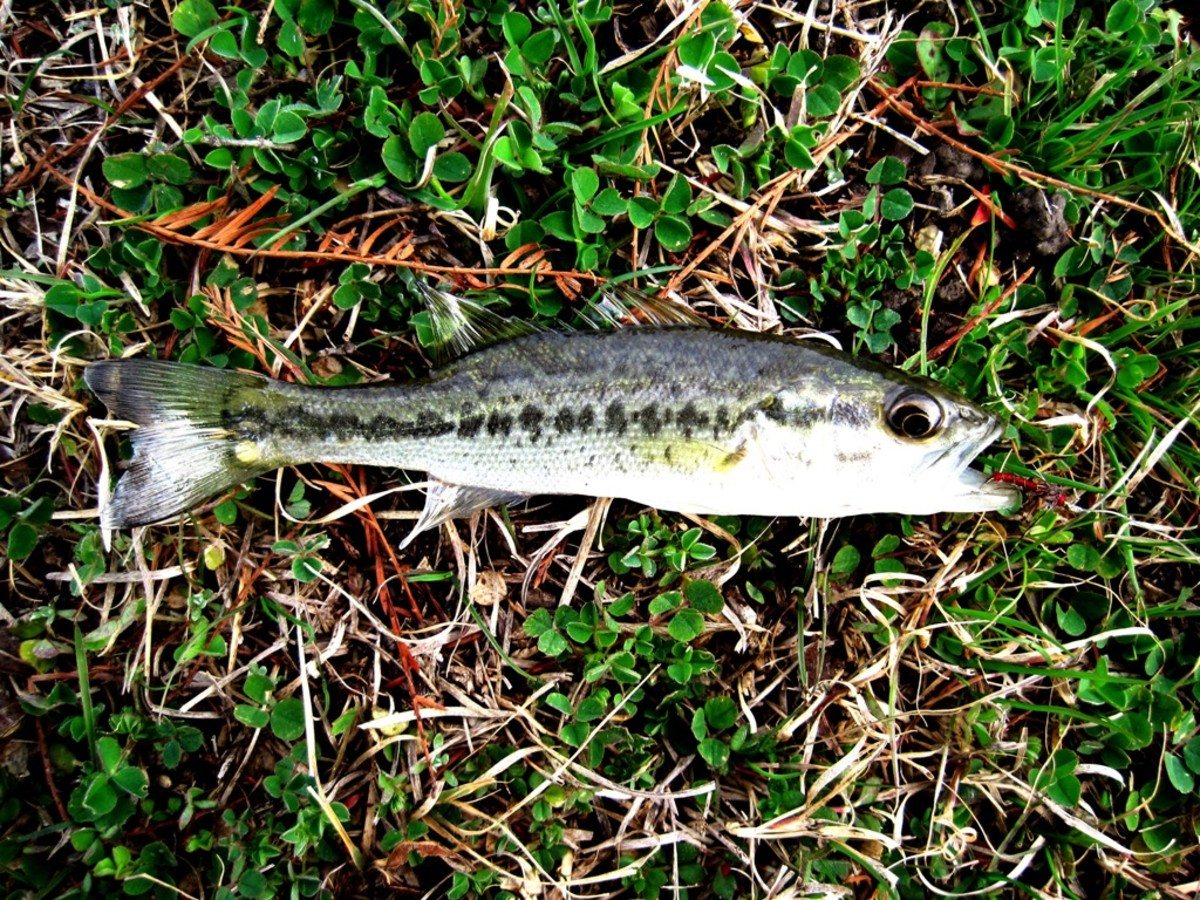 Little Bass caught on a Size 20 Soft Hackle!