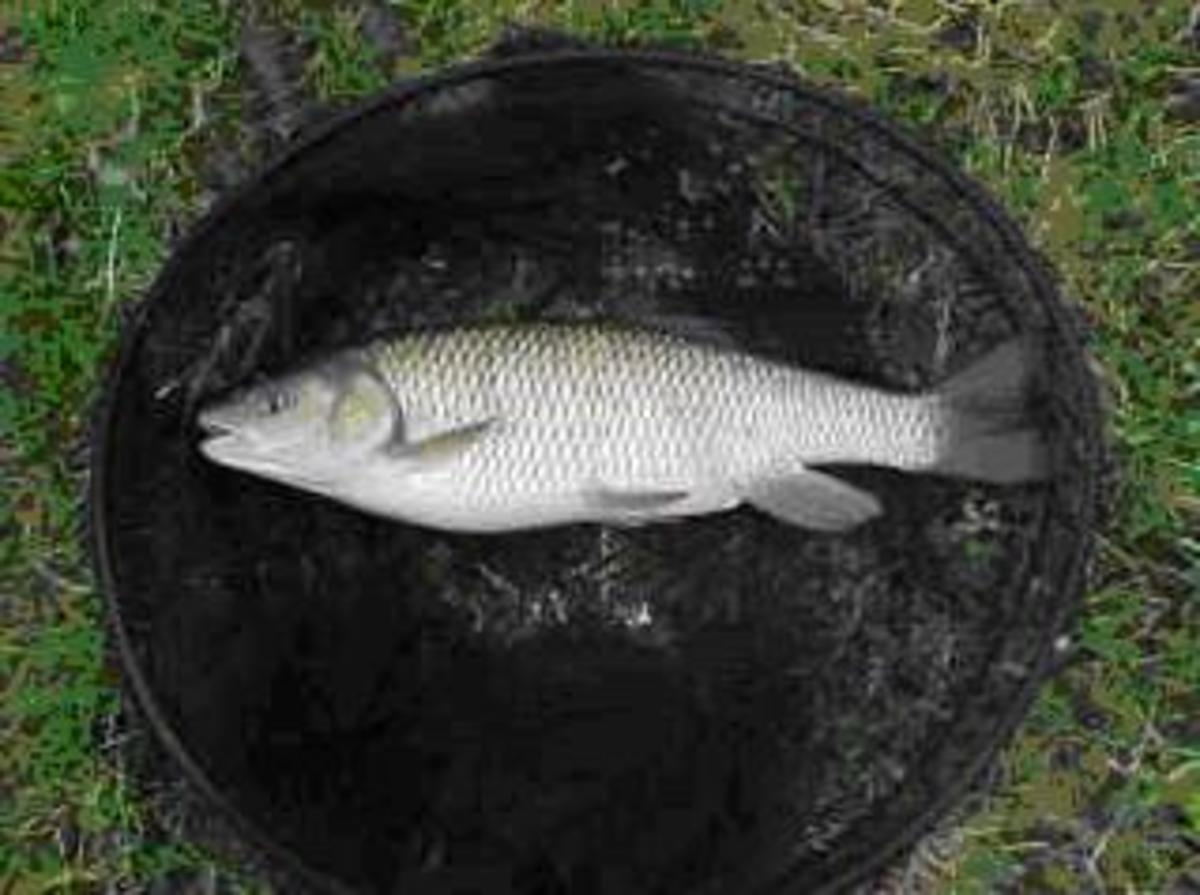 Not the 6Lb fish but a typical Wye Chub