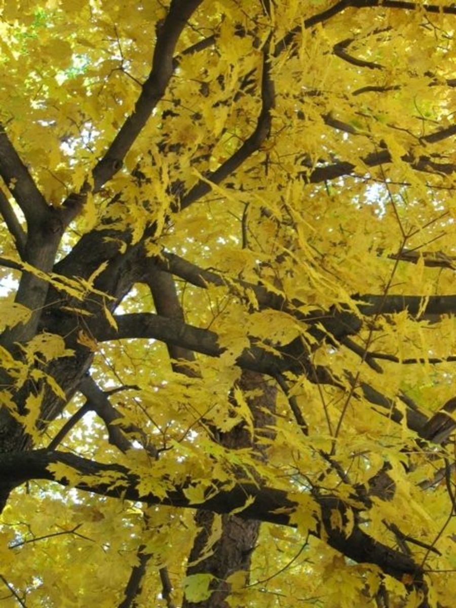 A maple tree In October