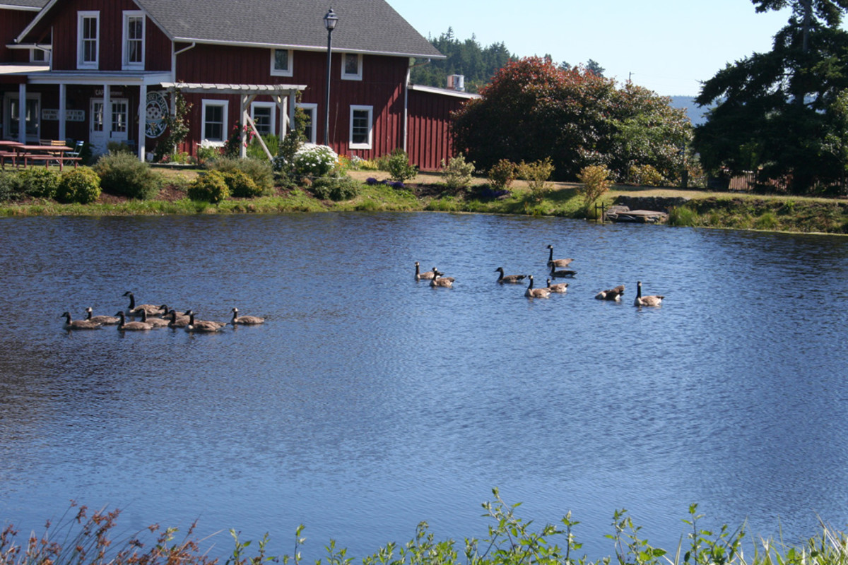Canadian geese at Greenbank Farms