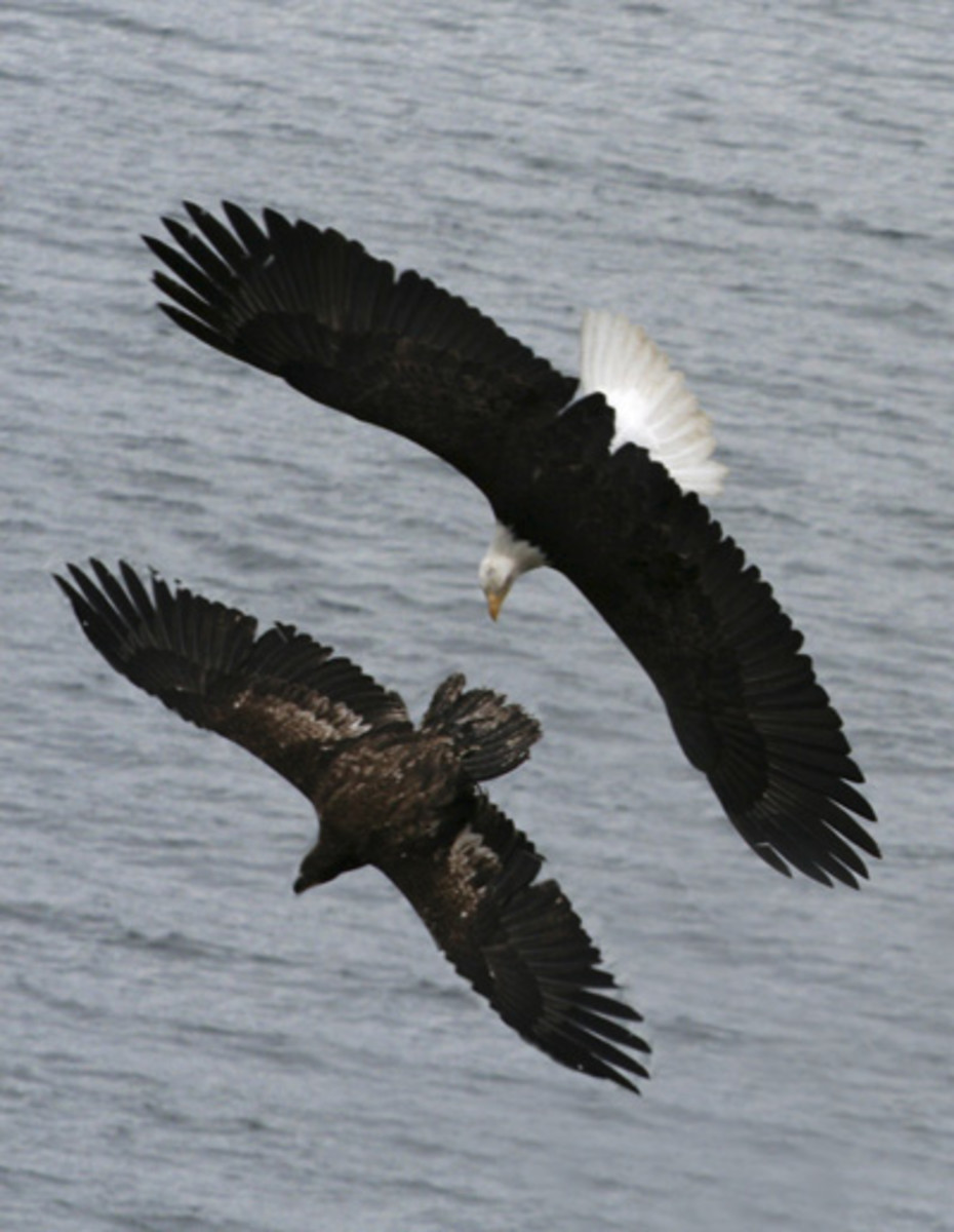Two eagles chasing eachother