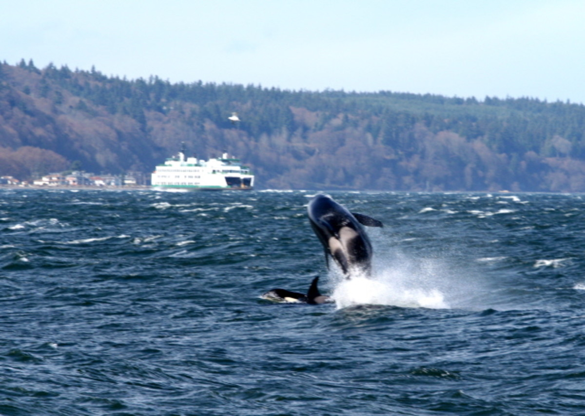 Orca breaching - an awesome site!
