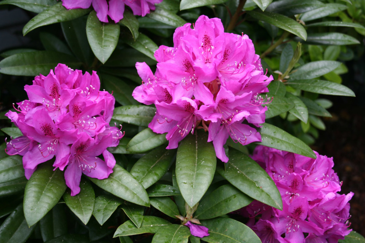 Beautiful rhodies