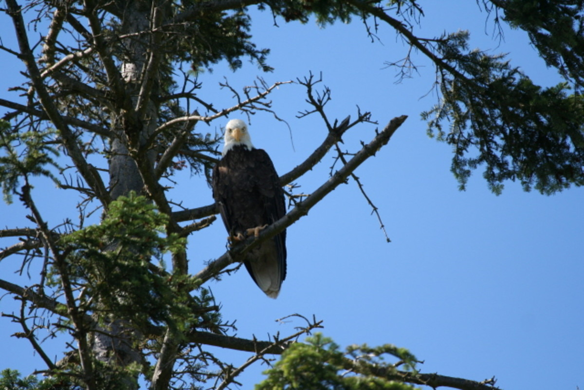 Eagle at a tree in our backyard