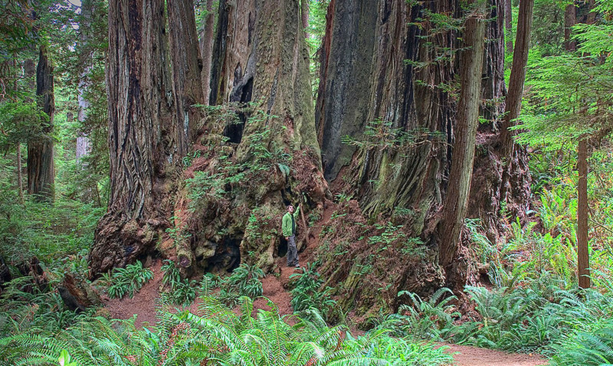 Cathedral tree in the redwoods