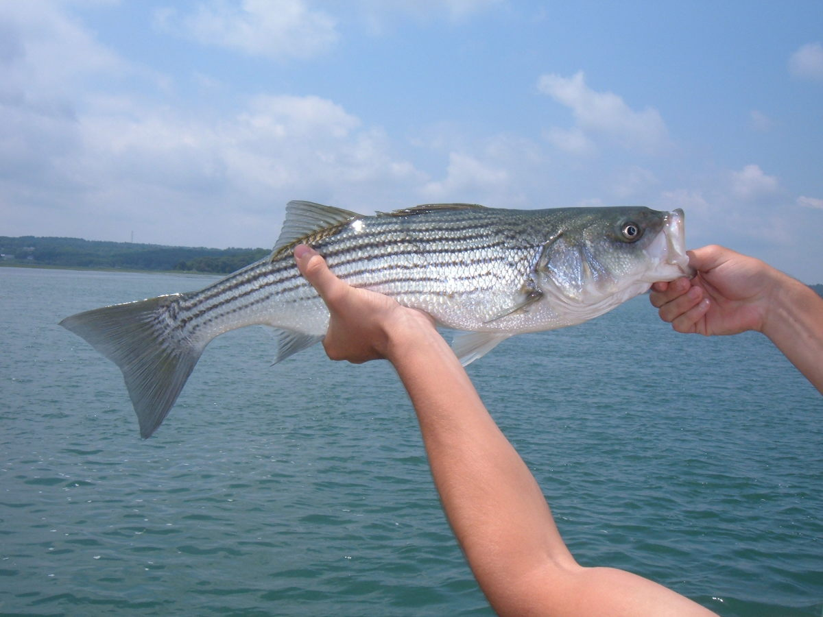 A nice schoolie striper caught from the dock