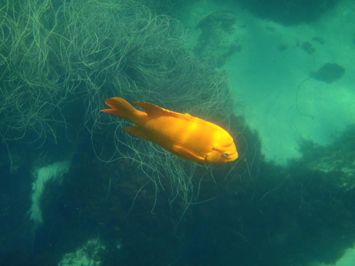 Garibaldi at La Jolla Cove