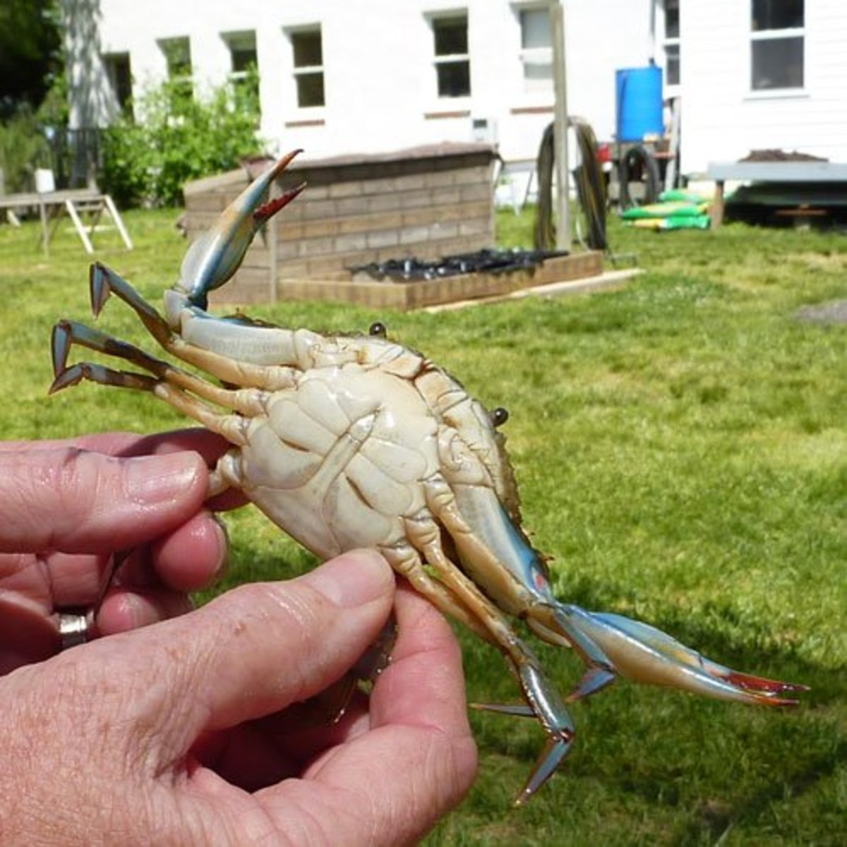 The pointed underside identifies this crab as a male. Females have a rounded, dome shaped on their underside.