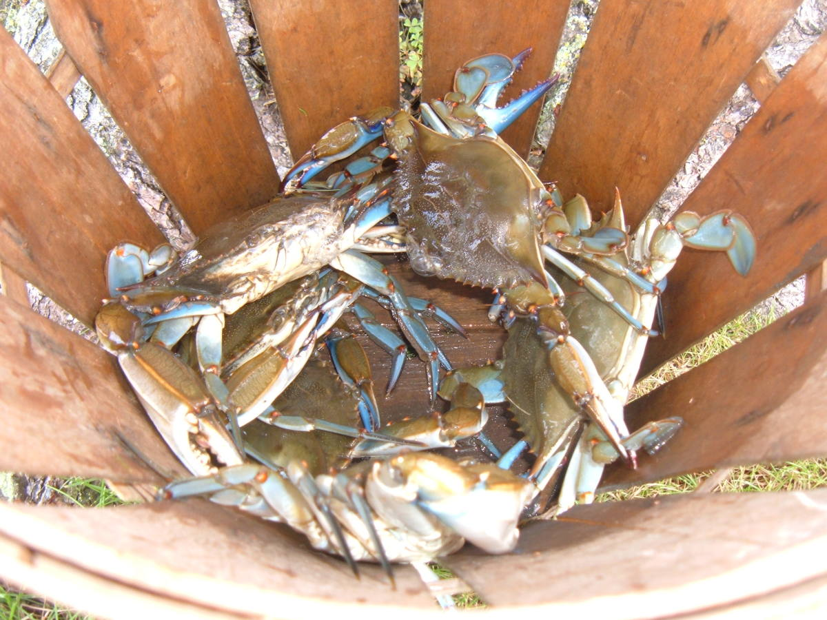 Keeper size Blue Crabs in the basket