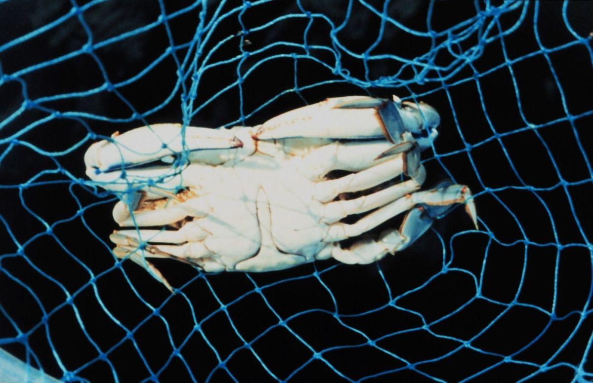 Male blue crab captured in a dip net.