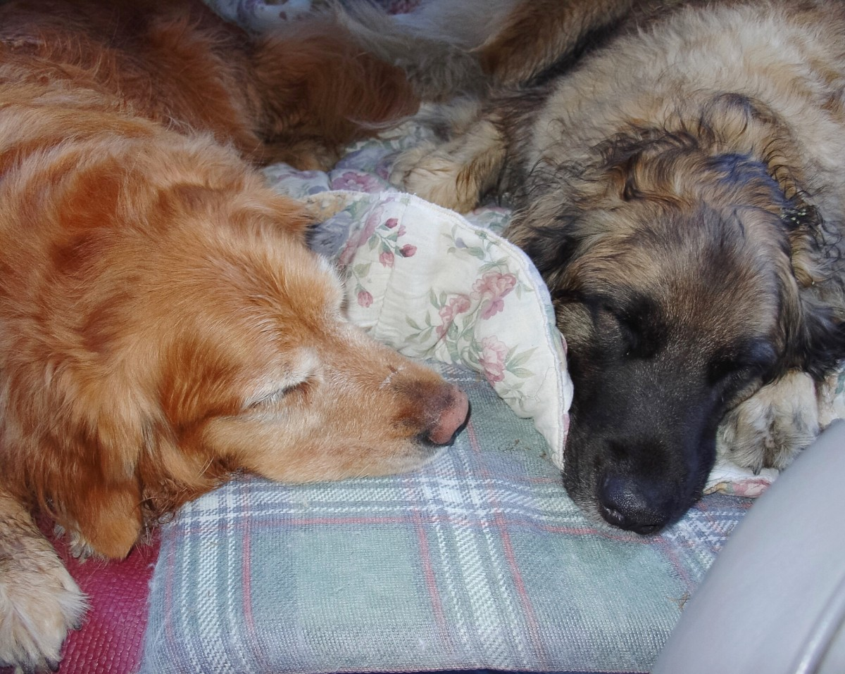 Two very tired dogs in the car after three active days in the park.