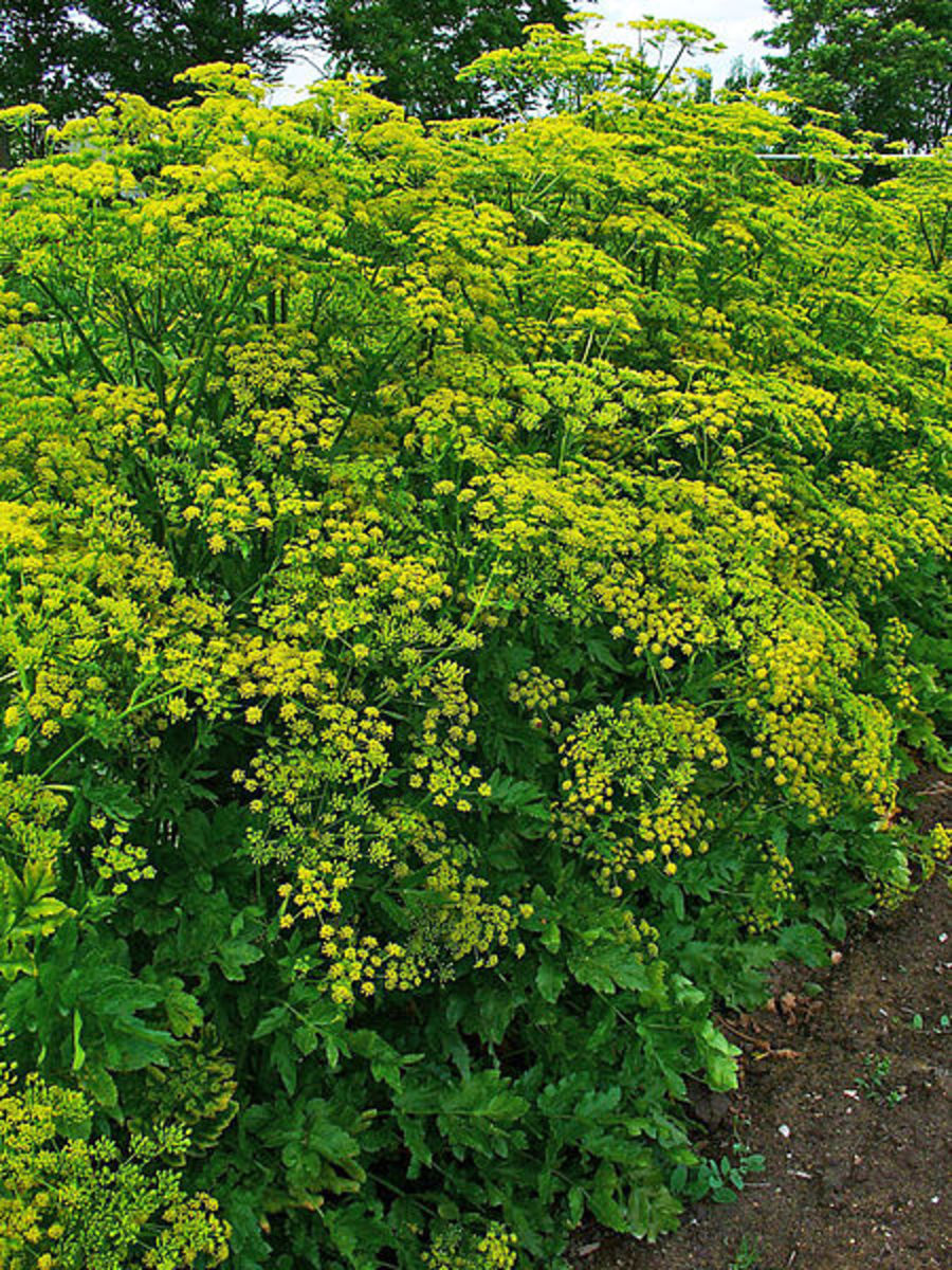 The leaves of Wild Parsnip (Pastinaca sativa) can cause phytophotodermatitis.