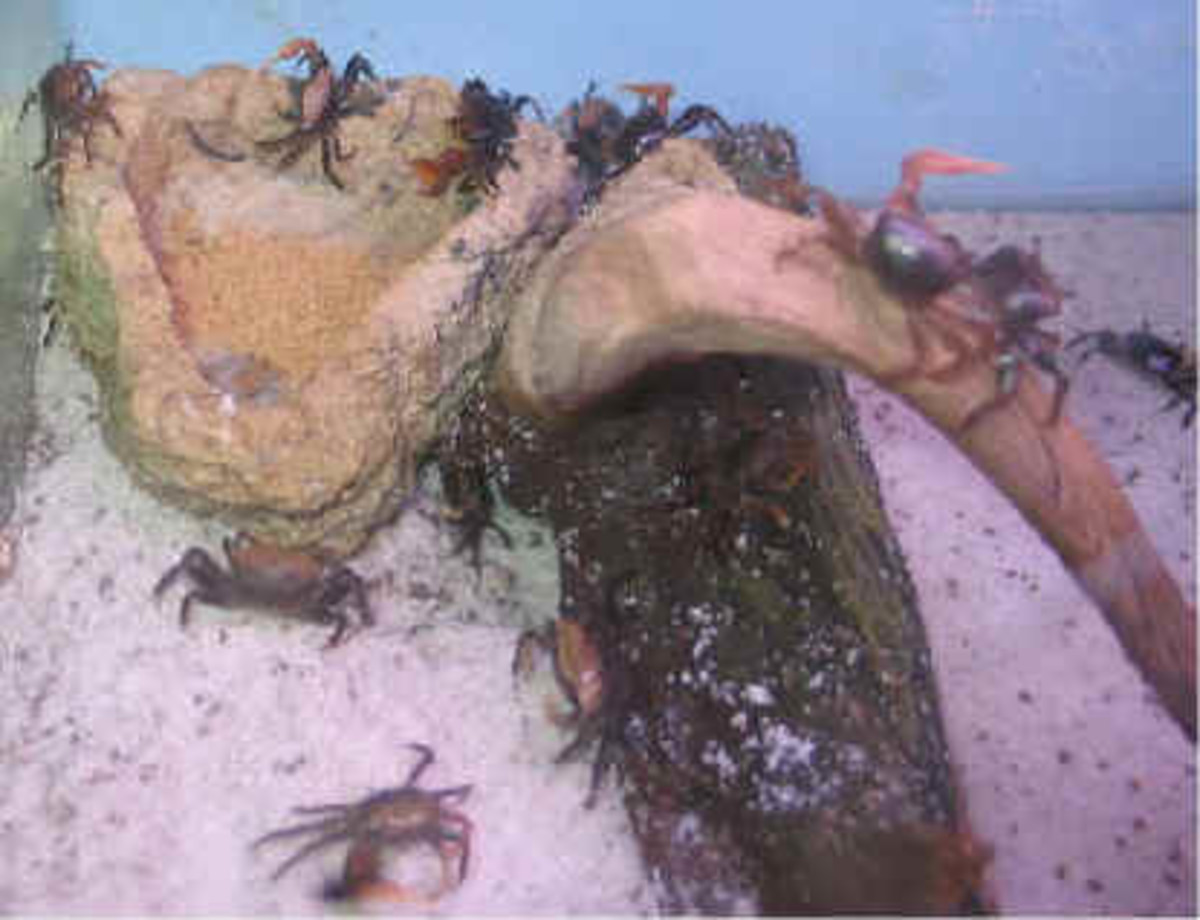 You can catch a supply of fiddler crabs and keep them in aquariums for winter sheephead fishing.