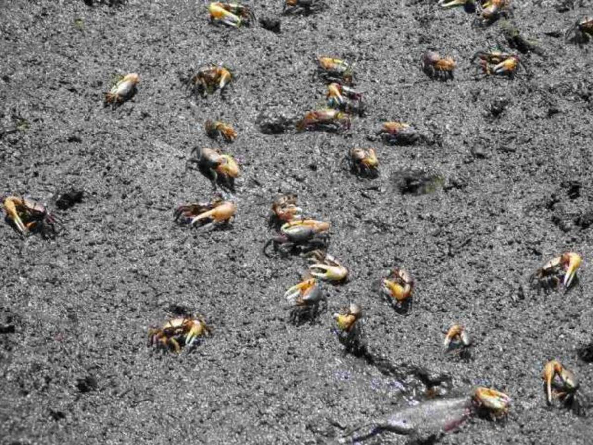 Fiddler Crabs will move around in winter especially in warm sunny places in the marsh.