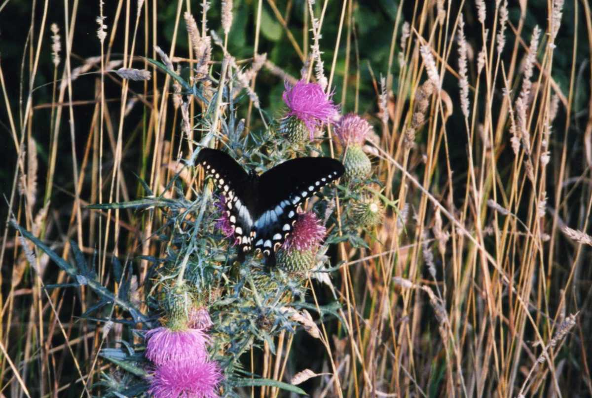 A butterfly rests on thistle in Shenandoah National Park.