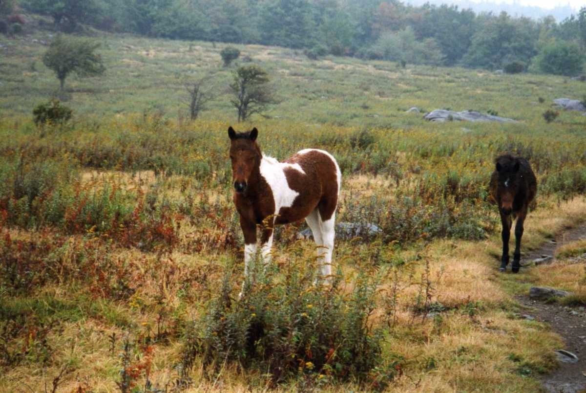 "The ""wild"" ponies of Grayson Highlands State Park."