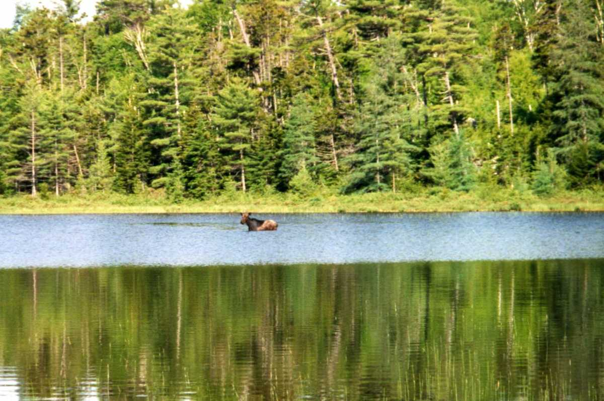 A moose forages in a Maine pond - one of many moose I saw on this trip.