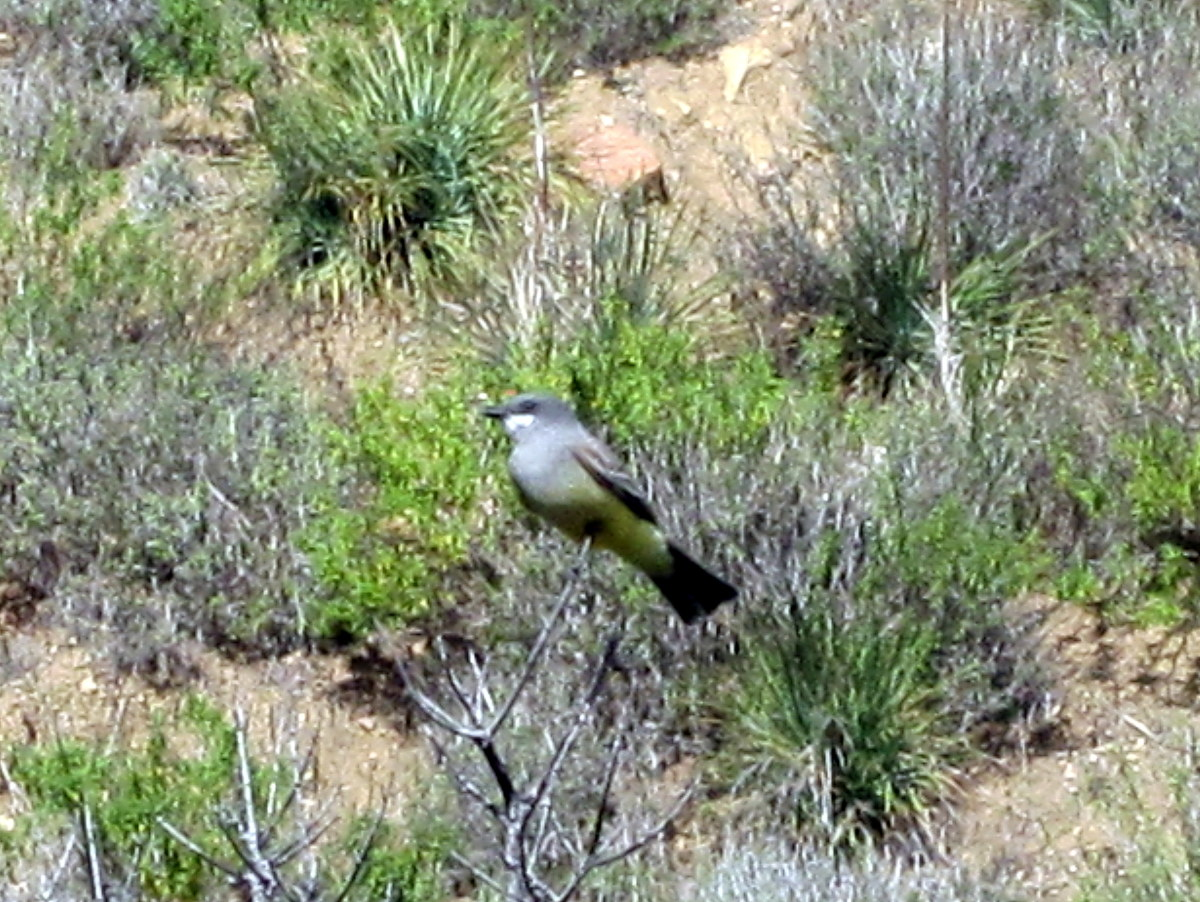 A Western Kingbird sits along the Rising Sun Trail